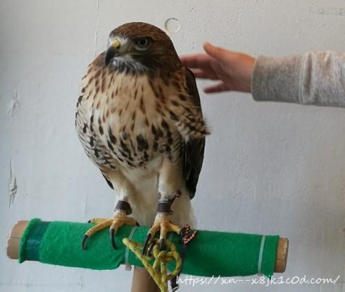 鷹を触っているところ